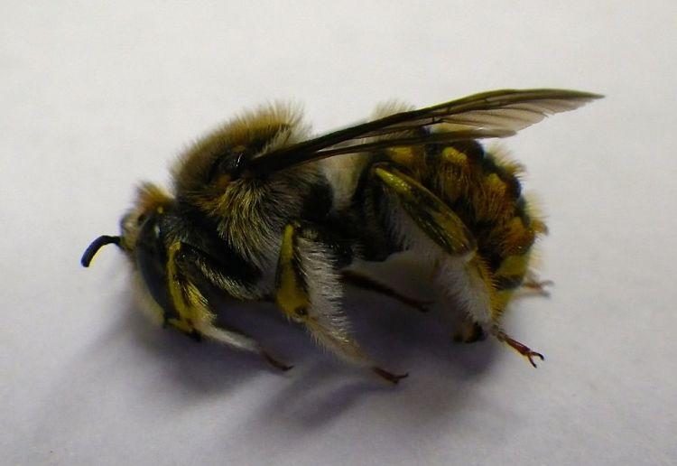 "Anthidium manicatum, the ""European wool carder bee"""