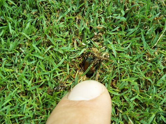 A female Japanese beetle digging into the turf to lay her eggs. Photo Credit: PJ Liesch.