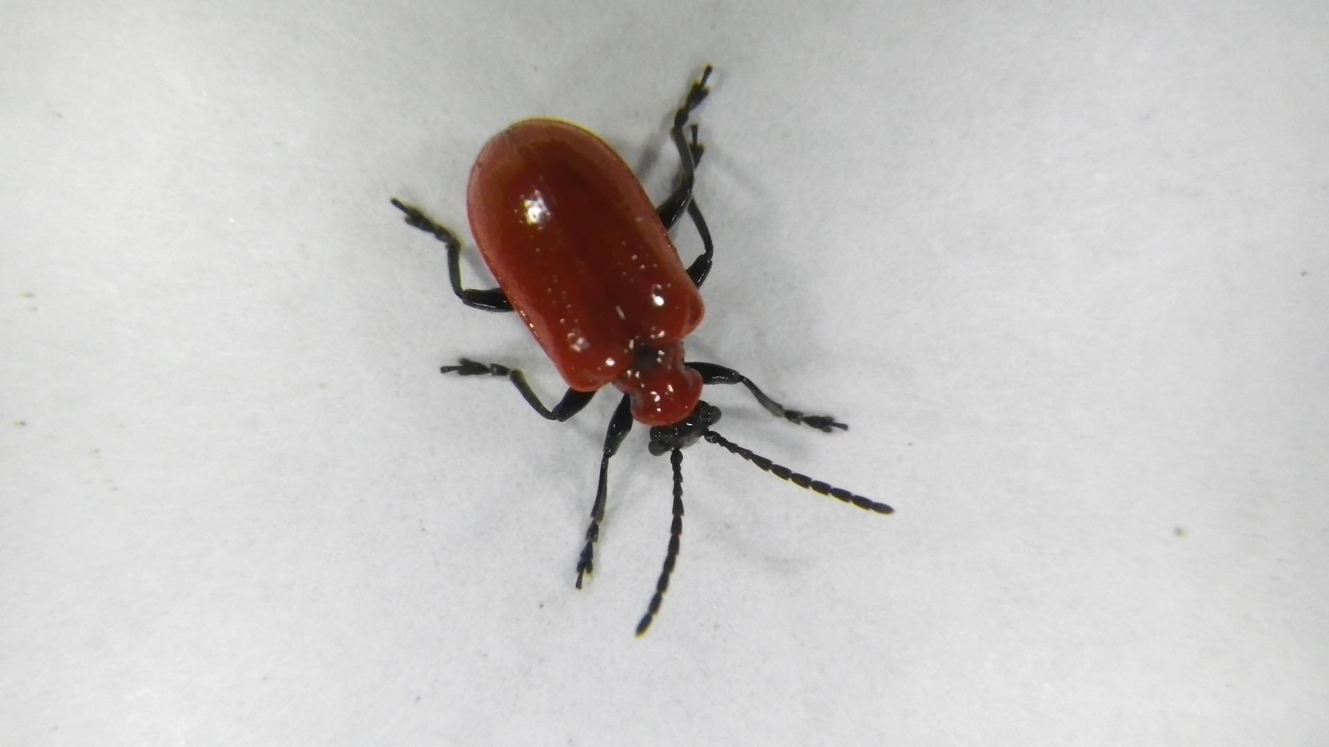 Lily Leaf Beetle (Lilioceris lilii)