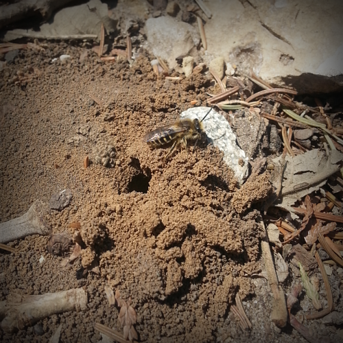 A ground nesting bee (Colletes sp.) near the stump of the former President's Oak on the UW-Madison campus. Photo Credit: PJ Liesch