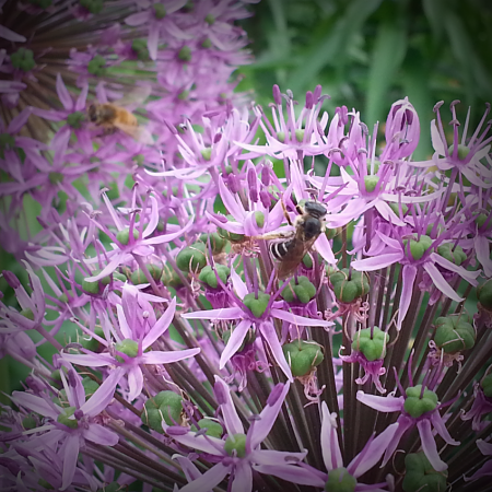 Native Bee_opt