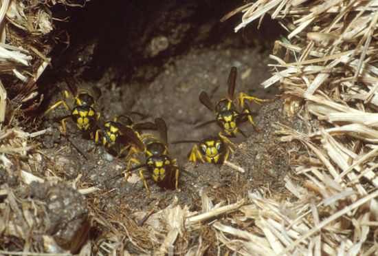 Ground nesting Yellowjackets