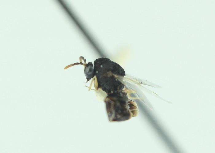 Bog Wasp-Pseudochalcura gibbosa