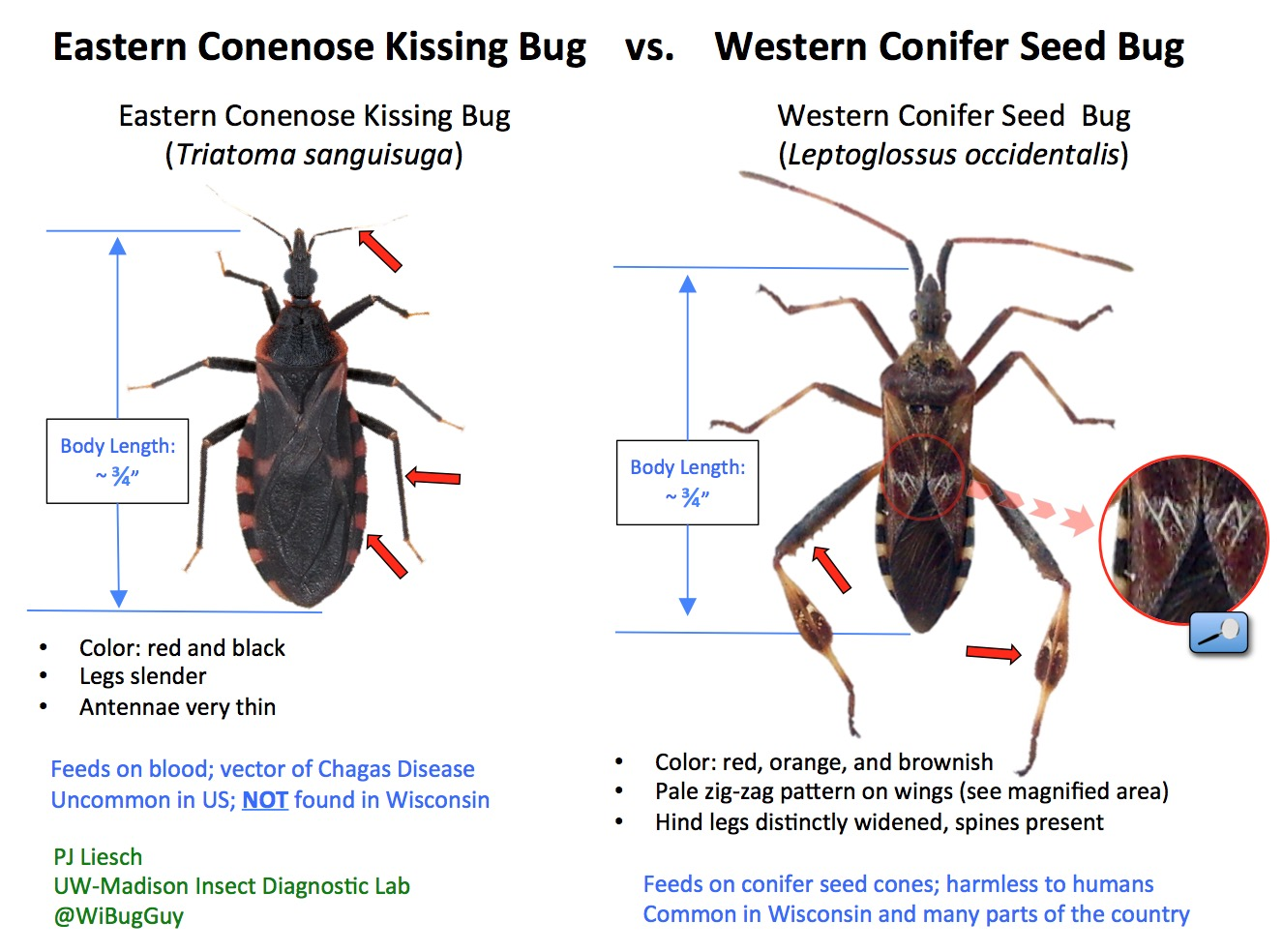 kissing-bug-id-guide
