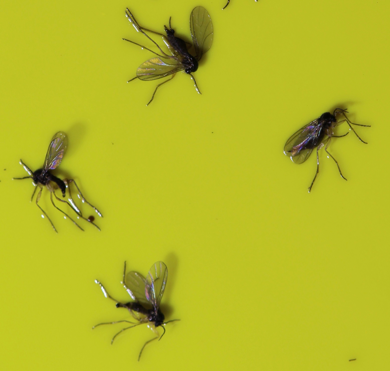 Small dark coloured gnats captured on a yellow sticky card trap