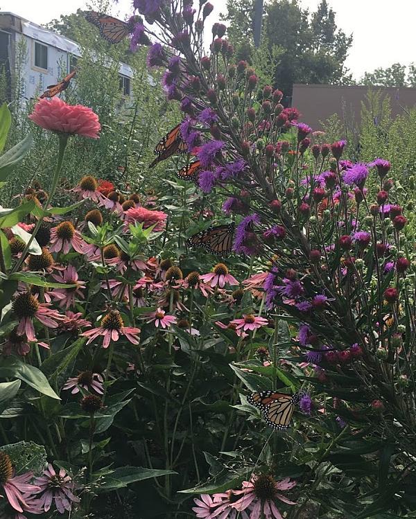 Seven monarch butterflies nectaring on a flower