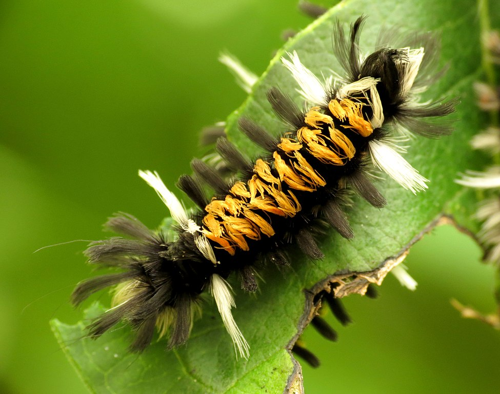 Fuzzy black and orange Caterpillar of the milkweed tussock moth (Euchaetes egle)