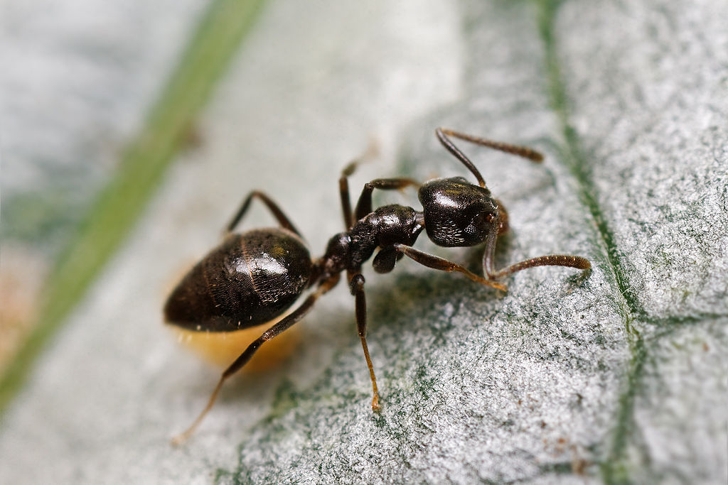 SMall black ant—an odorous house ant worker