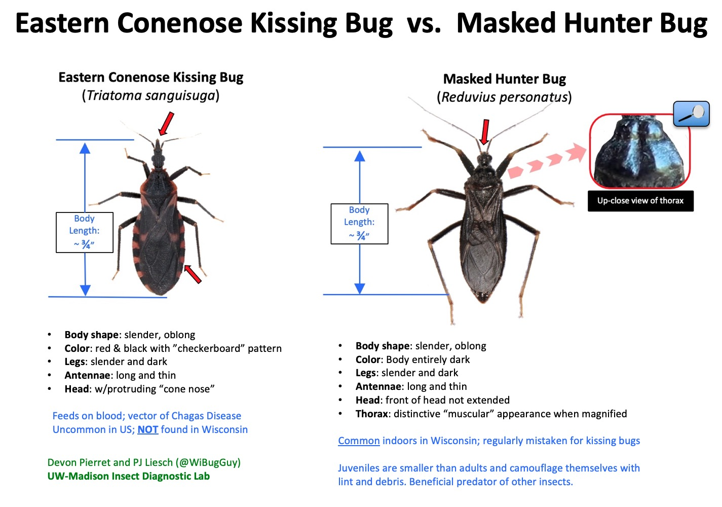 Side-by-side comparison of a kissing bug and a masked hunter bug.