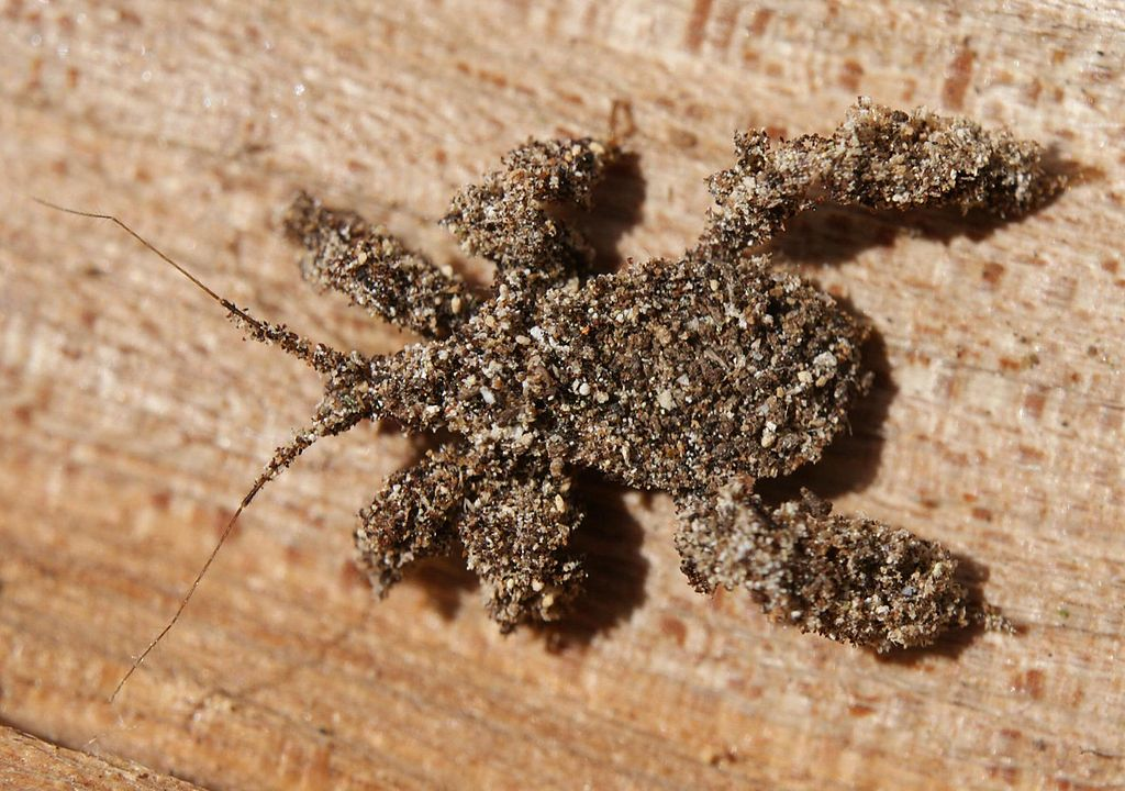 Juvenile masked hunter bug camouflaged with debris.