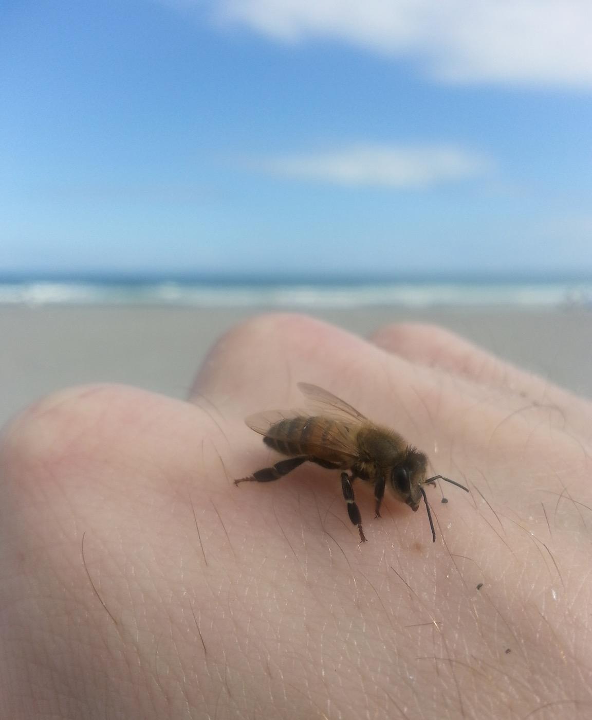 A honey bee (Apis mellifera) on a Florida beach.