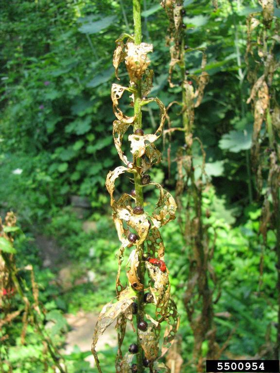 Severely damaged lily plants