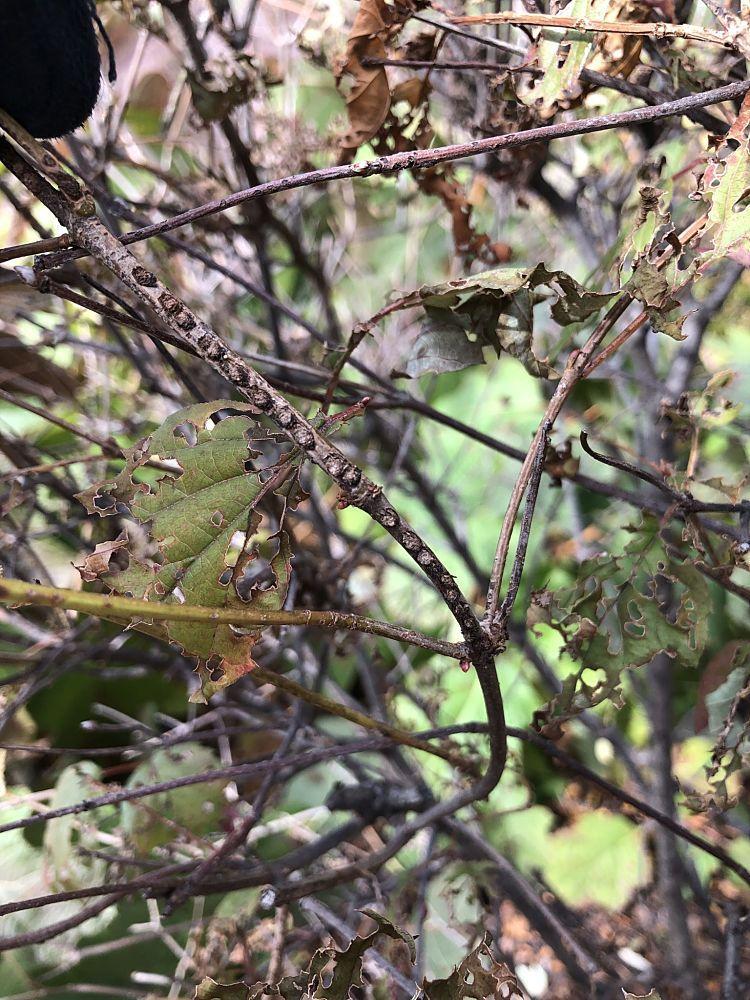 Egg pits of the viburnum leaf beetle on a viburnum twig.